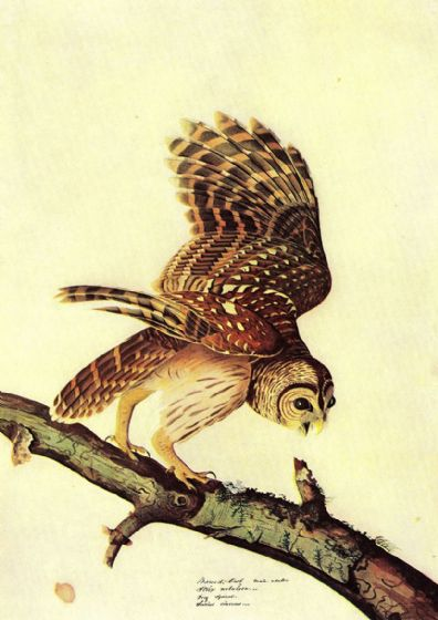 Audubon, John James: Barred Owl. Ornithology Fine Art Print/Poster. Sizes: A4/A3/A2/A1 (001009)